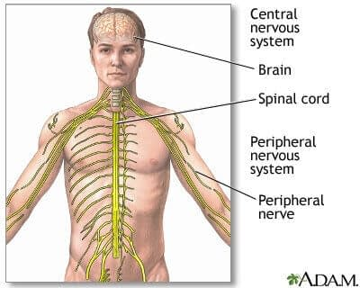 What Is Acetylcholine And What Does Acetylcholine Do